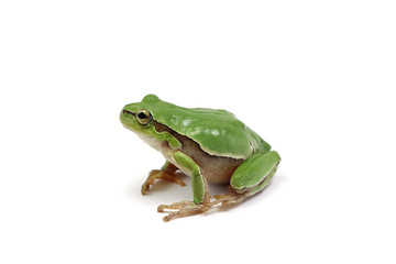 small green tree frog isolated on white background