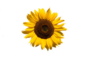 Isolated sunflower on white