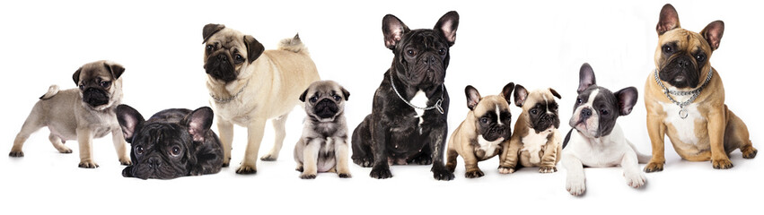Papiers peints Bouledogue français Group of French Bulldogs all ages in front of white background