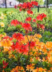 Budding Japanese azalea in springtime