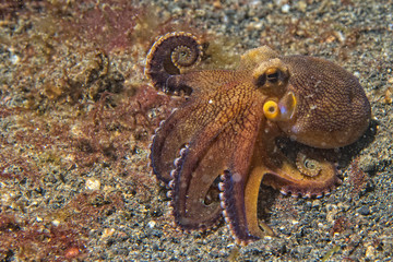 coconut octopus underwater portrait