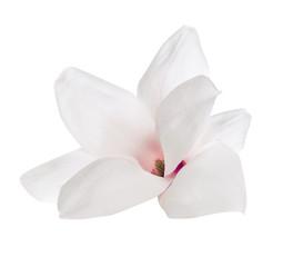 Flower of Magnolia, isolated on white background