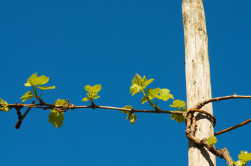 Fototapete - Grape plant in spring