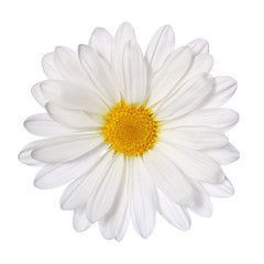 Chamomile flower isolated on white. Daisy. Macro