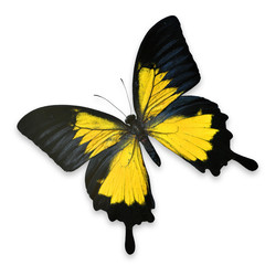 Beautiful Black and Yellow butterfly