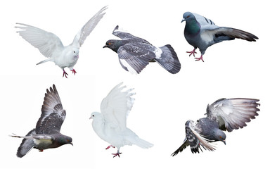 six isolated on white pigeons Wall mural
