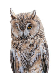 Fototapete - light brown owl on white background