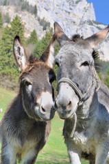 Photo sur Plexiglas Ane portrait de deux ânes côte à côte