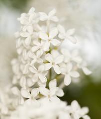 Common lilac, Syringa vulgaris
