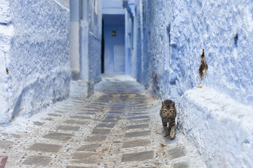 cat on Street in medina of blue town Chefchaouen, Morocco