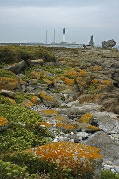 Criste marine, Ile de Sein, Parc naturel d'Armorique, Bretagne