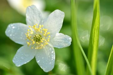 piękny kwiat zawilca w porannej rosie