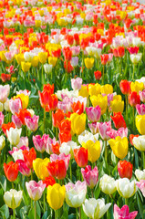 multicolored tulips field in park