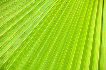 Lines and textures of Green Palm leaves.