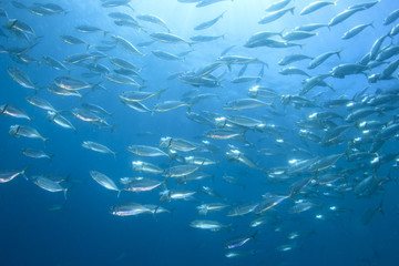 Mackerel Fish School