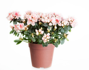 Blossoming azalea  in a flowerpot on a white background