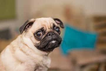 Pug dog, funny portrait