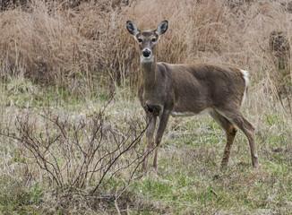 Doe Female Deer