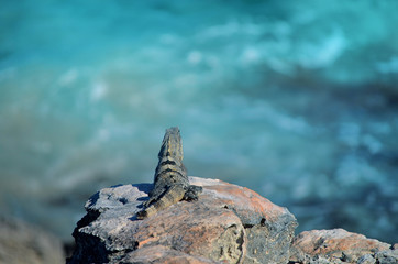 isla mujeres lizard