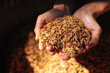 rice seeds on hand