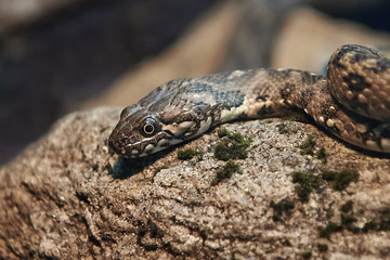 Viperine water snake (natrix maura)