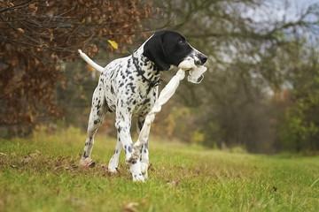 auvergne pointing dog running