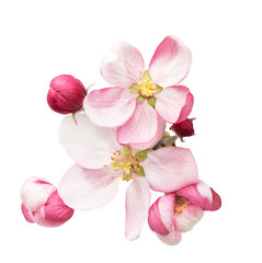 spring blossoms. apple tree flowers isolated on white