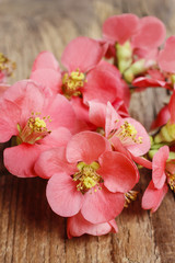 Flowering quince (cydonia oblonga)