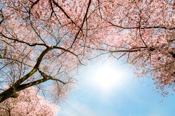 Wall Mural - Blick in Dach aus Japanischen Kirschblüten :)