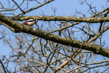 Woodpecker looking for food in a tree