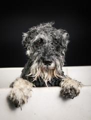 Schnauzer dog in bathtub