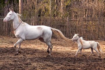 Akhal Teke mare and mini horse stallion