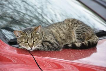 cat lying on car