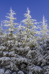 Snow-covered firs