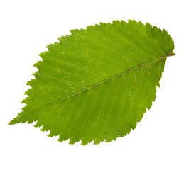 High Resolution green leaf of elm tree isolated on white backgro