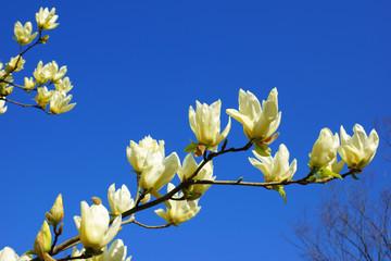 木蓮と青空