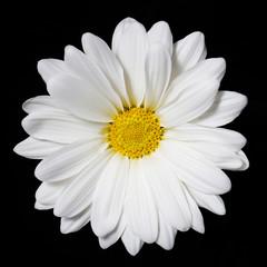 Chamomile flower over black background. Daisy.