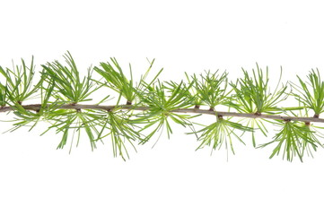 Larch twig in spring isolated on white background