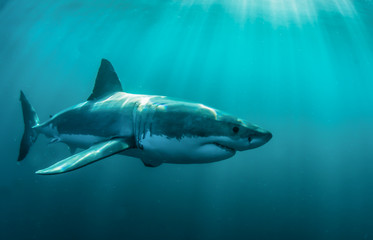 Fototapete - Great white shark underwater.