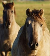 Dülmener wild horse