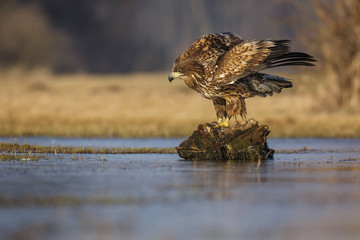Sea eagle on a stump