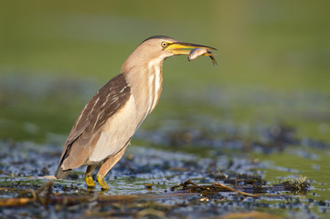 Little bittern with fish