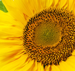 yellow sunflower - the yellow flower of sunflower photographed by a close up