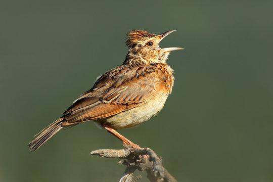 Rufous-naped lark (Mirafra africana) calling