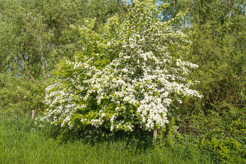 White flowering Hawthorn in the spring season