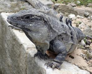 big lizard portrait