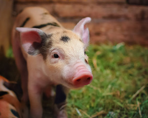Young pigling.