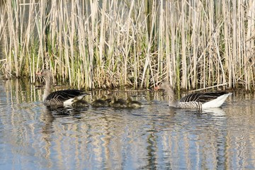 Pair of Greylag geese swimming with their offspring