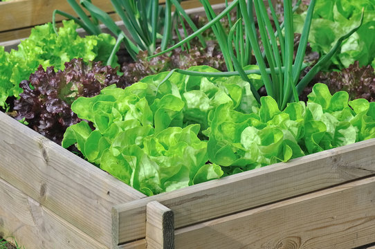 salade dans carré potager