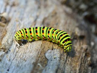 Green caterpillar in nature